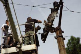Reportáž ze záchranné stanice na Huslíku o nebezpečí elektrického vedení pro volně žijící ptáky