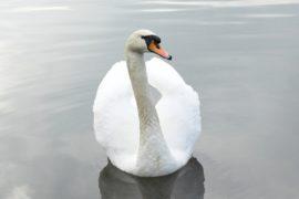 Zdravá labuť nepřimrzne!