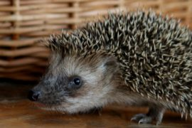 Zazimujte sekačky a nedělejte z ježků bezdomovce!