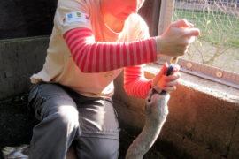 Liberecká záchranná stanice má za sebou unikátní záchranu labutě